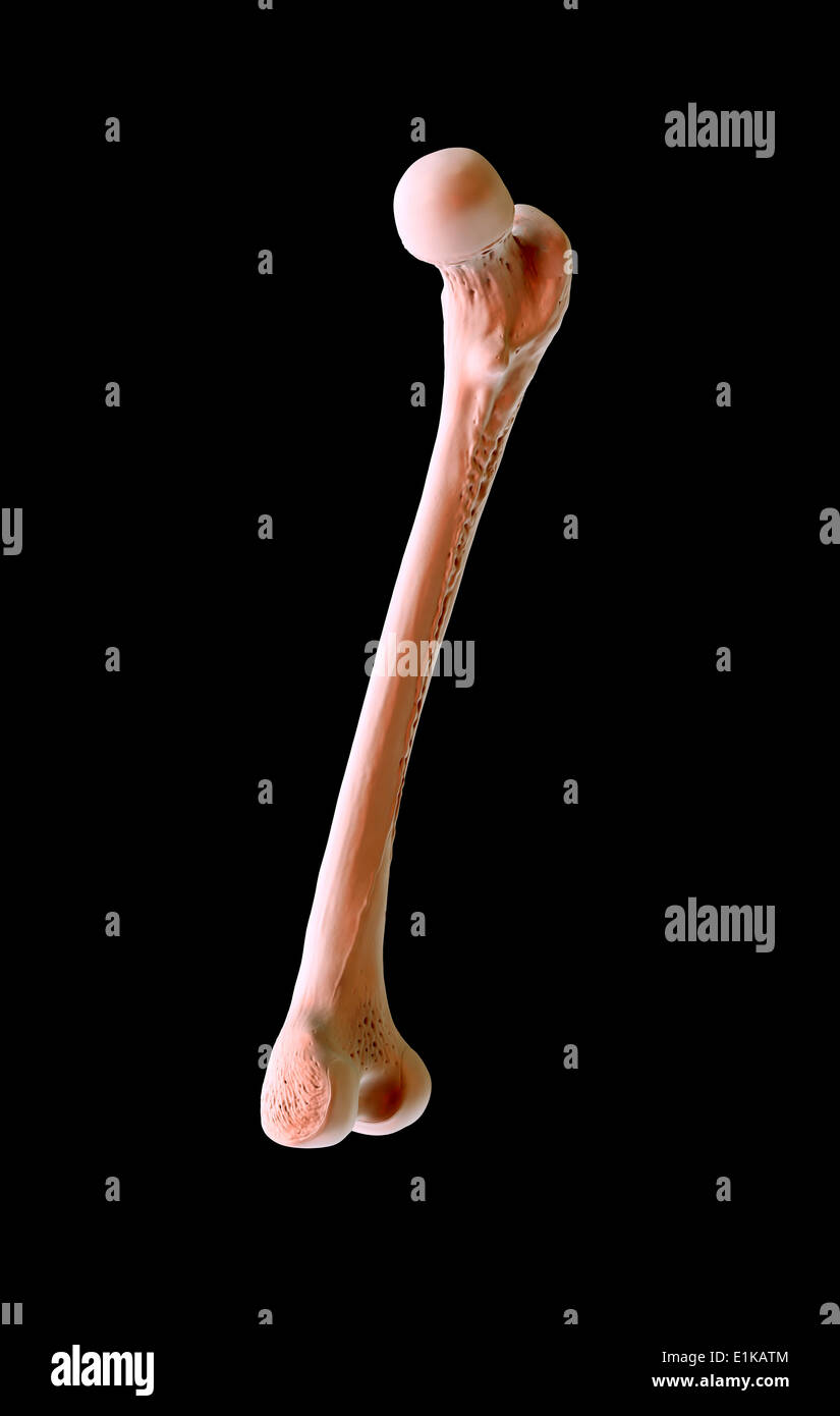 Femur Bone Stockfotos & Femur Bone Bilder - Alamy
