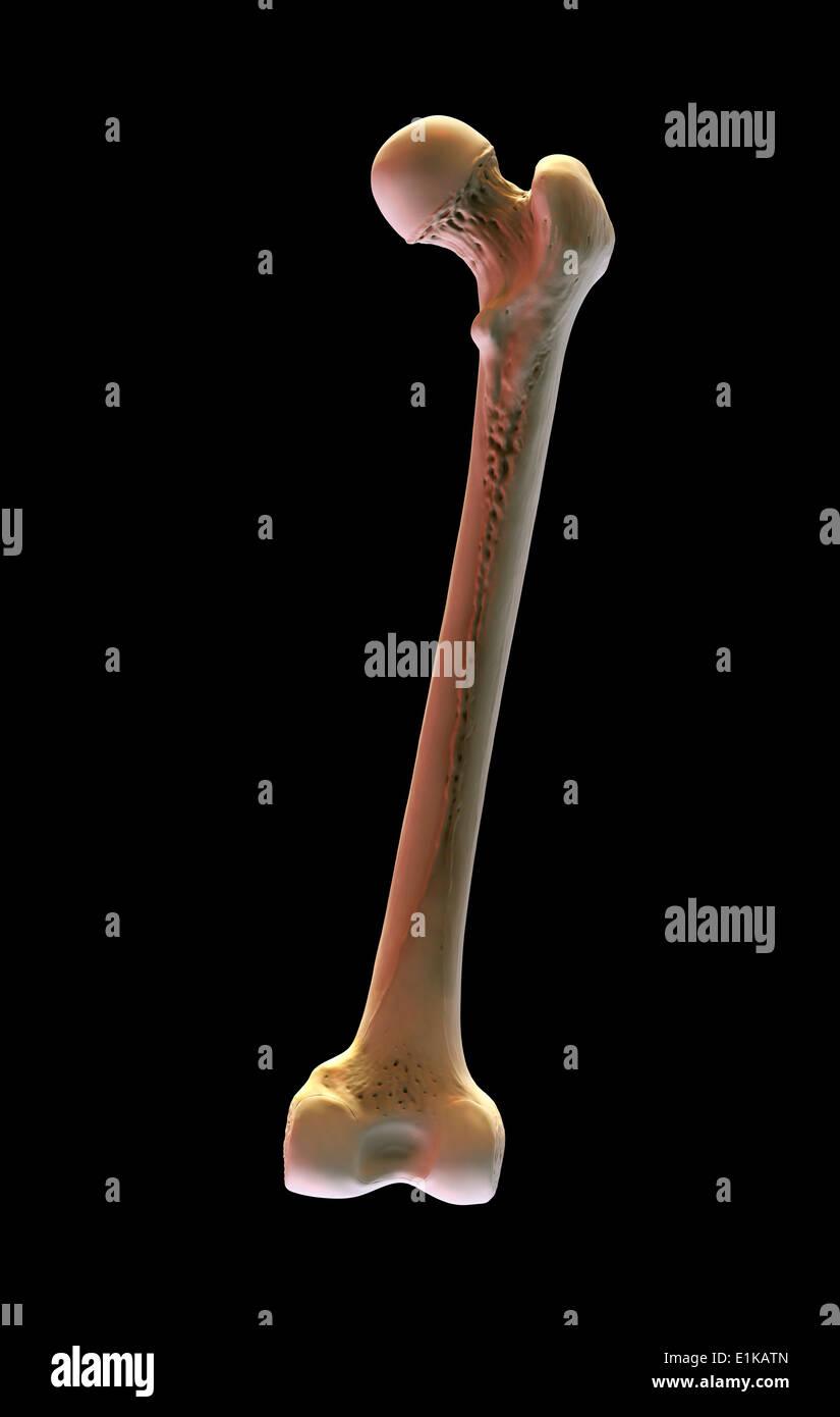 Human Femur Bone Stockfotos & Human Femur Bone Bilder - Alamy