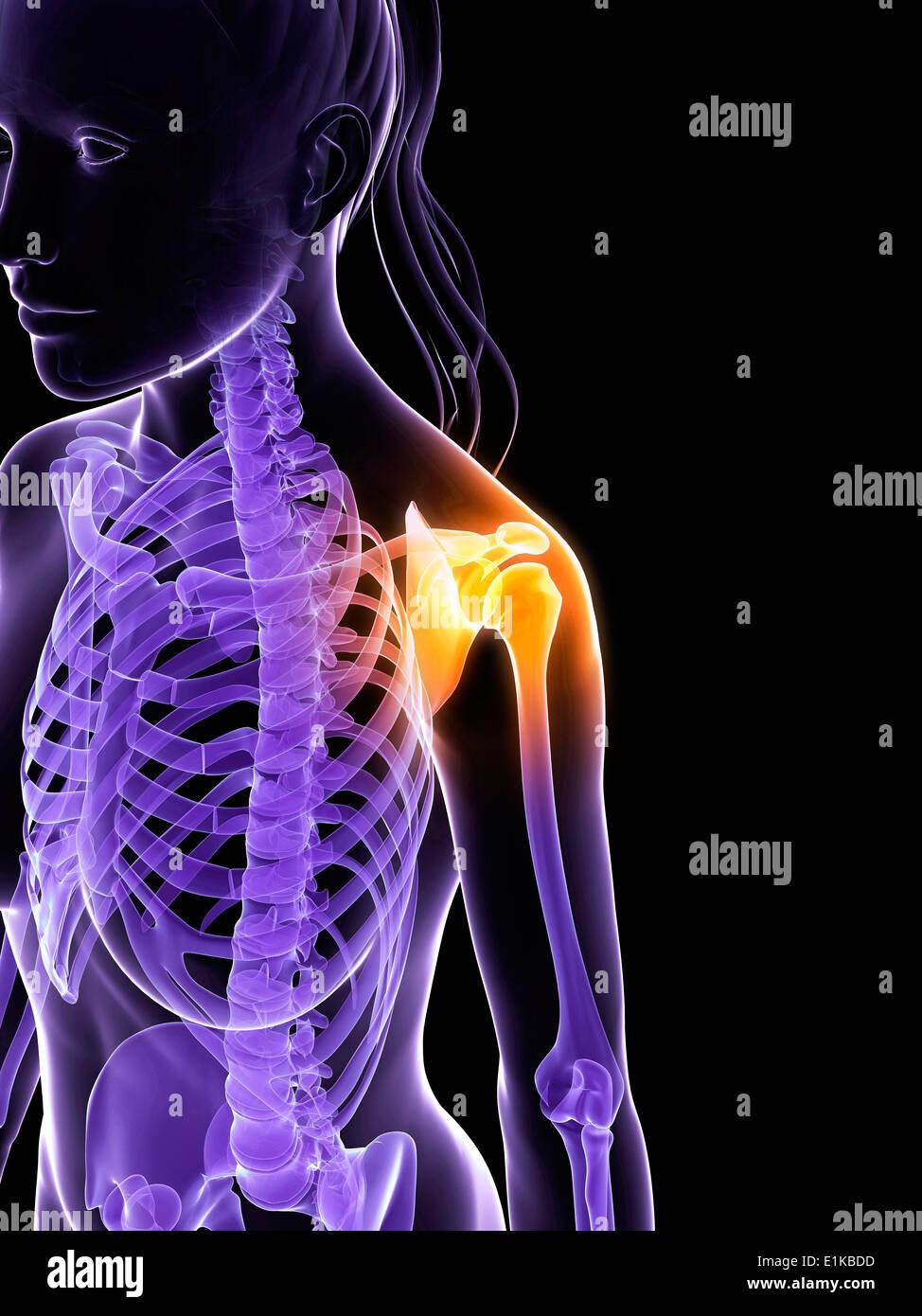 Weibliche Anatomie zeigt die Knochen der Schulter Computer ...