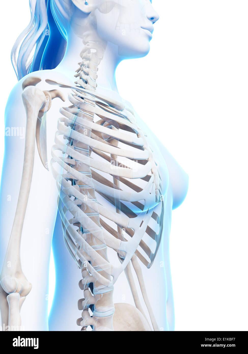 Fantastisch Brust Anatomie Weiblich Bilder - Menschliche Anatomie ...