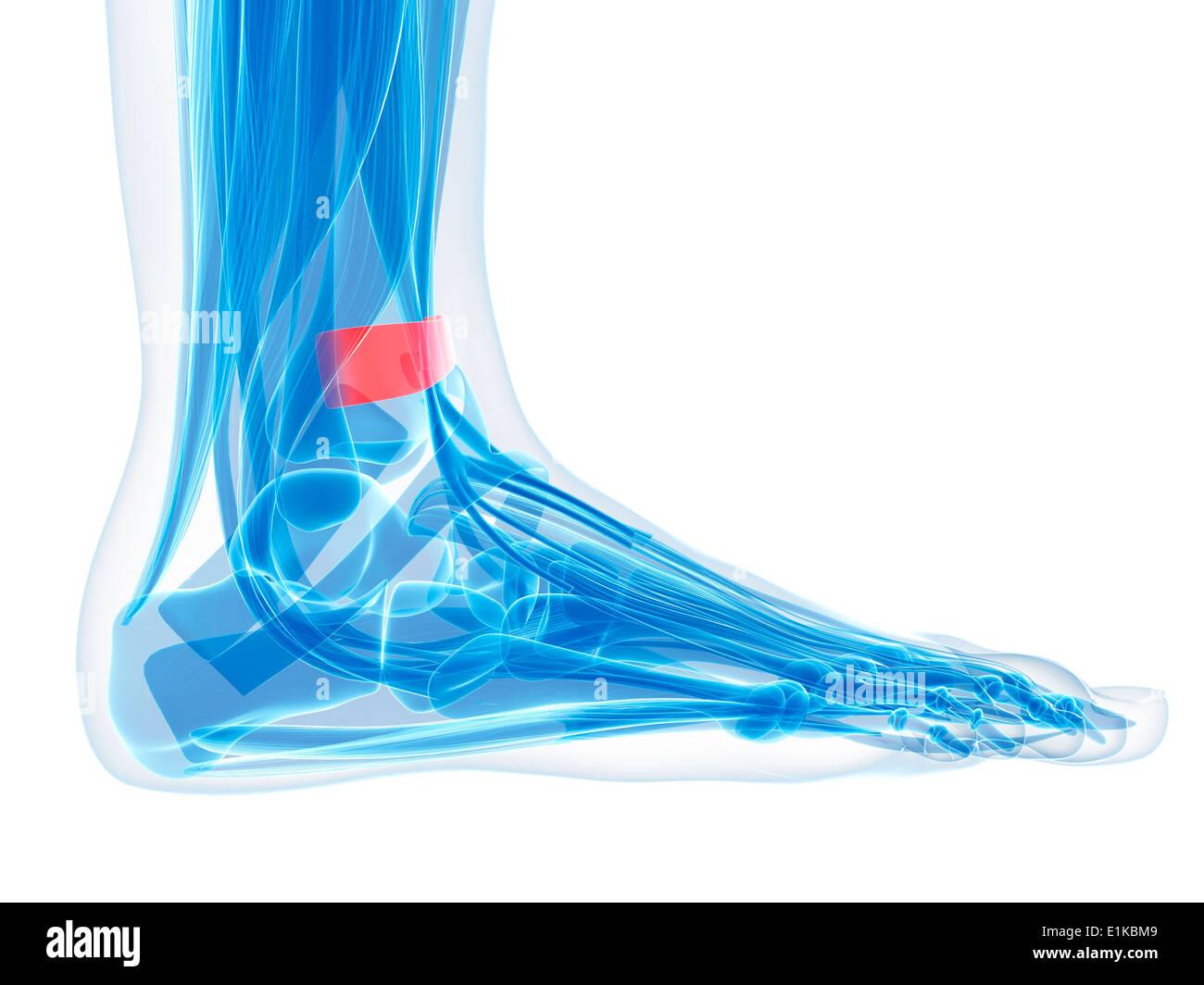 Foot Ligament Stockfotos & Foot Ligament Bilder - Alamy