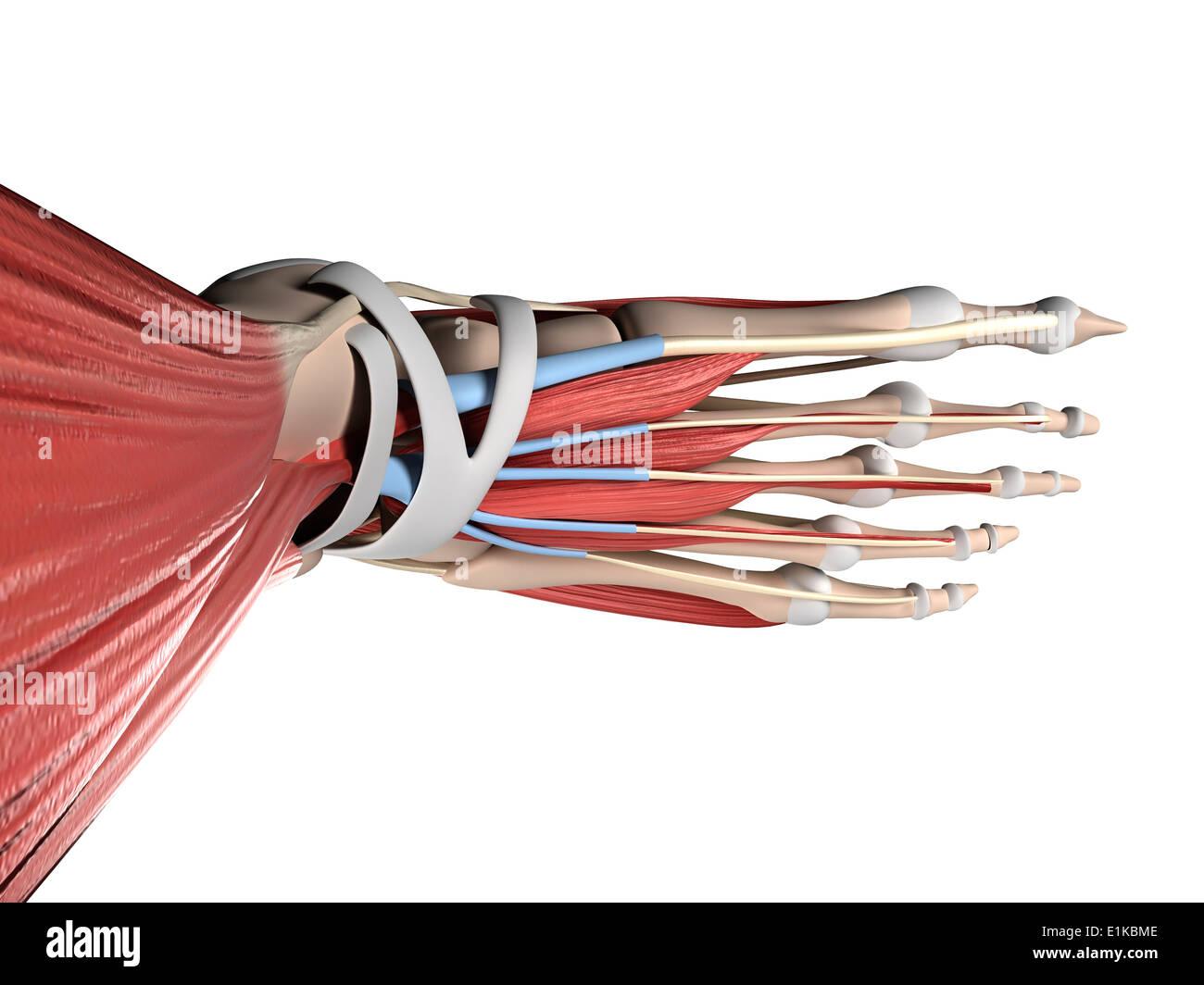 Menschlicher Fuß Anatomie Computer Artwork Stockfoto, Bild: 69882414 ...