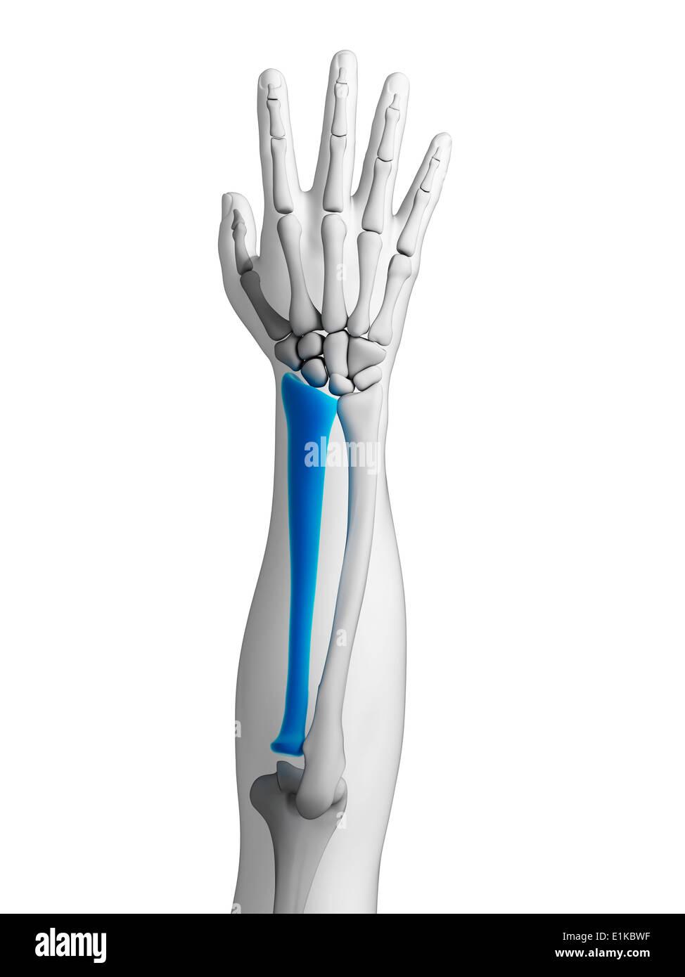 Atemberaubend Knochen In Arm Bilder - Physiologie Von Menschlichen ...
