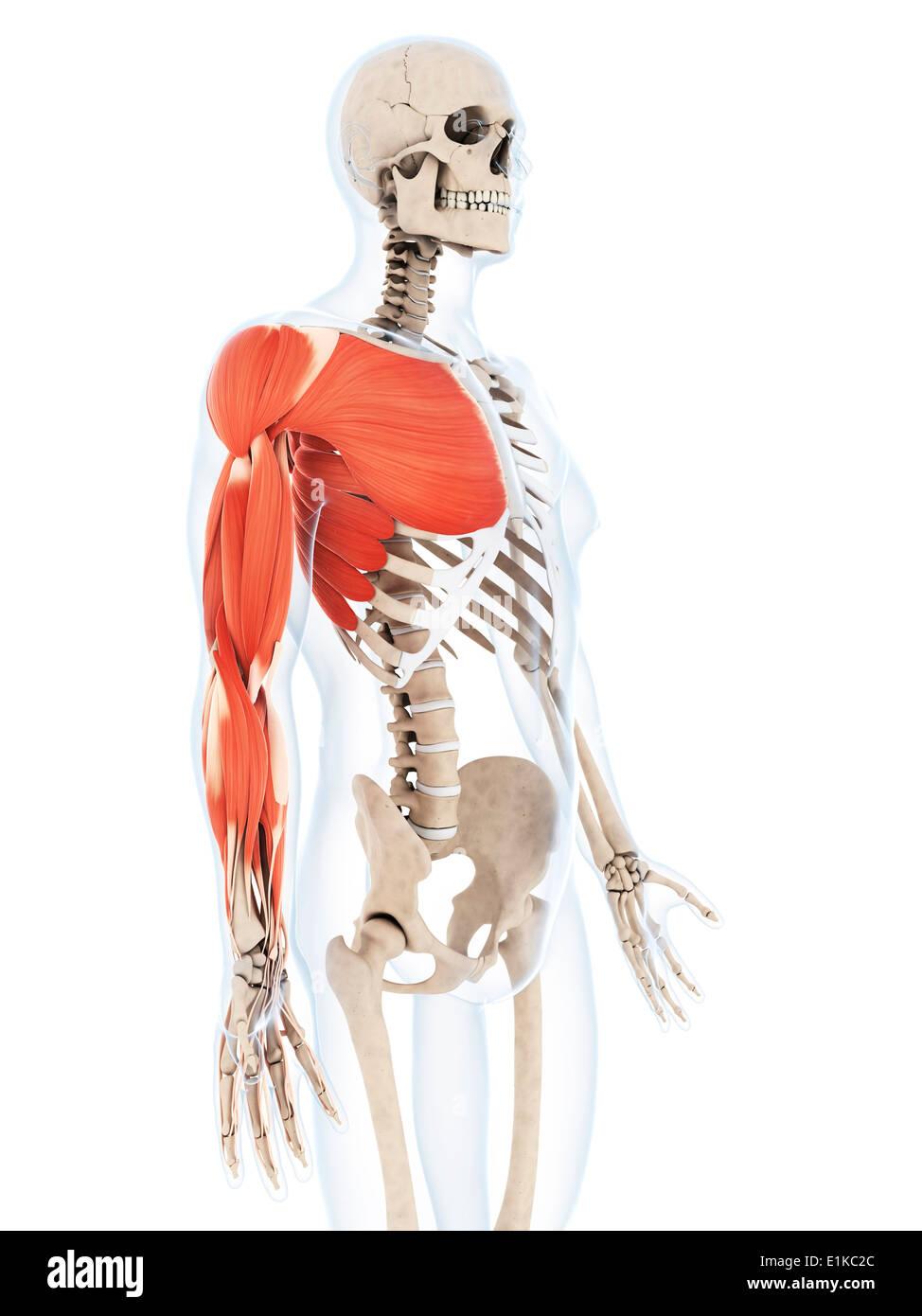 Menschliche Muskulatur des Arm Computer Kunstwerks Stockfoto, Bild ...