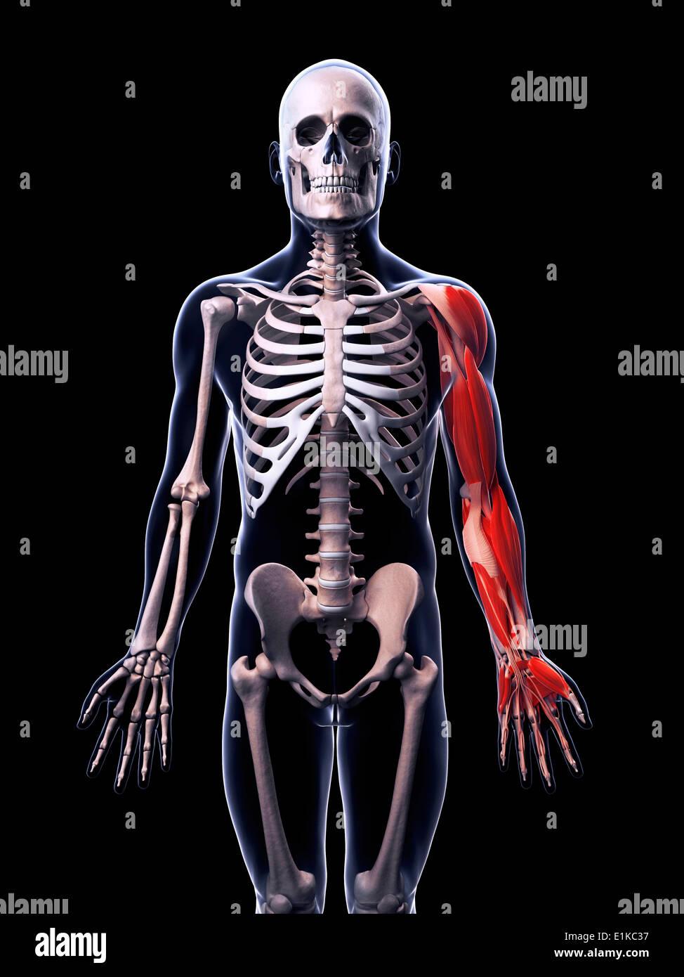 Human Muscular System Stockfotos & Human Muscular System Bilder - Alamy