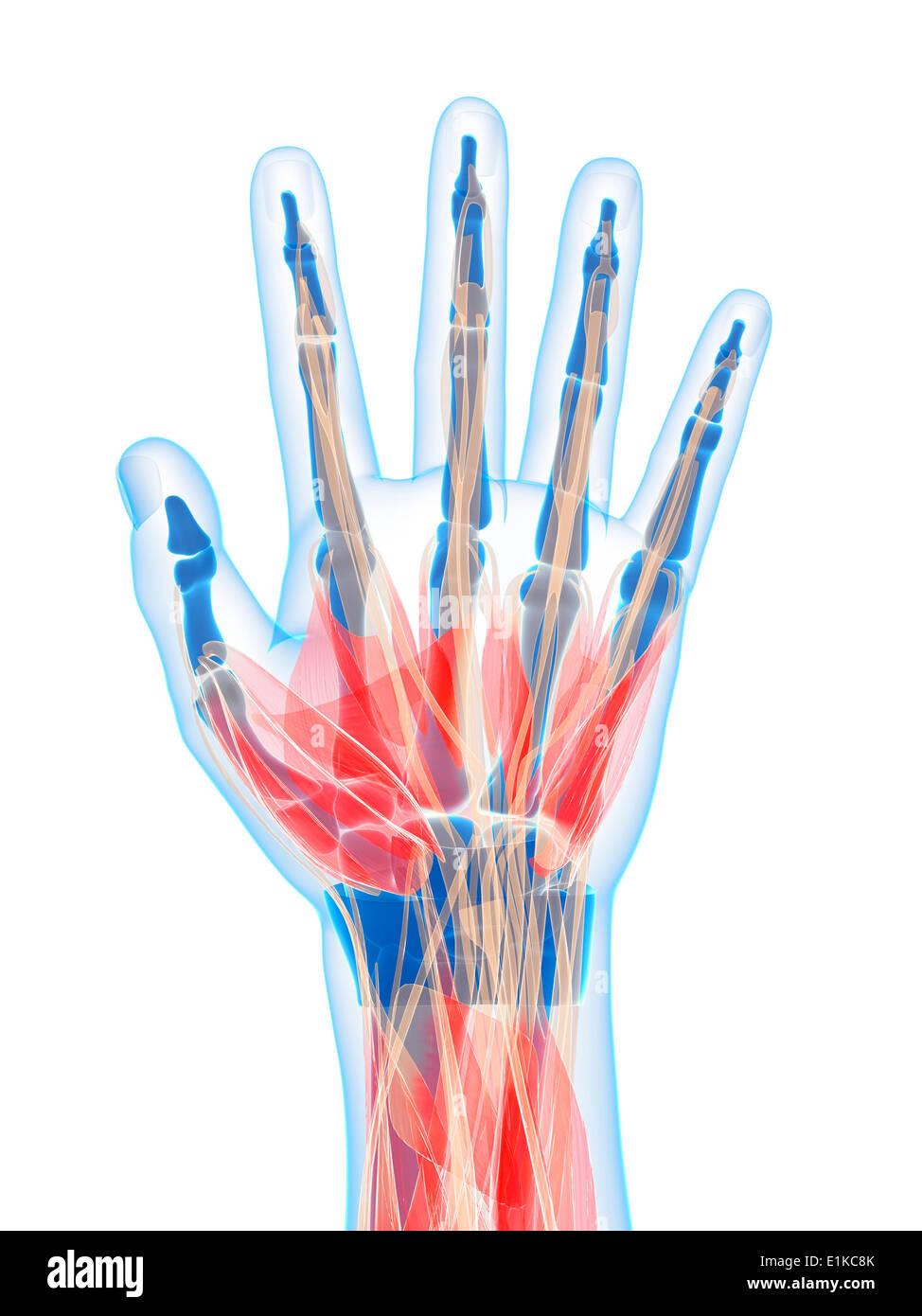 Anatomy Muscles Hand Stockfotos Anatomy Muscles Hand Bilder Alamy