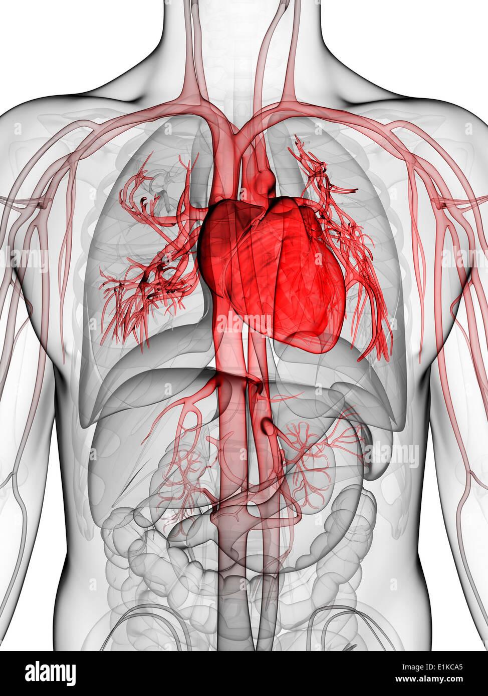 Beste Form Des Herzens Anatomie Ideen - Anatomie Von Menschlichen ...