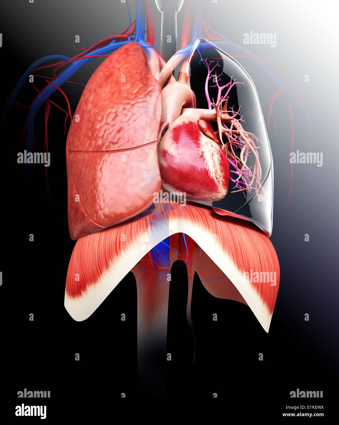 Menschliches Herz und Lunge Computer Artwork Stockfoto, Bild ...