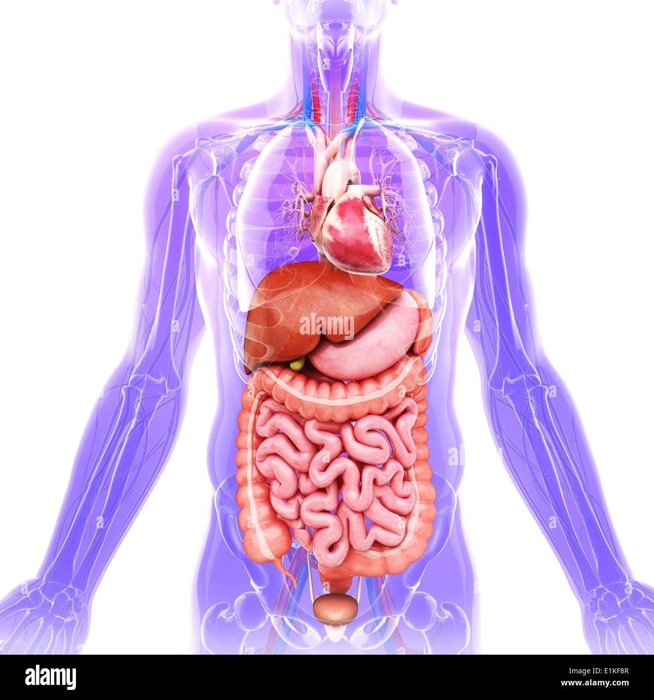 Fantastisch Menschliche Organe Bilder - Menschliche Anatomie Bilder ...