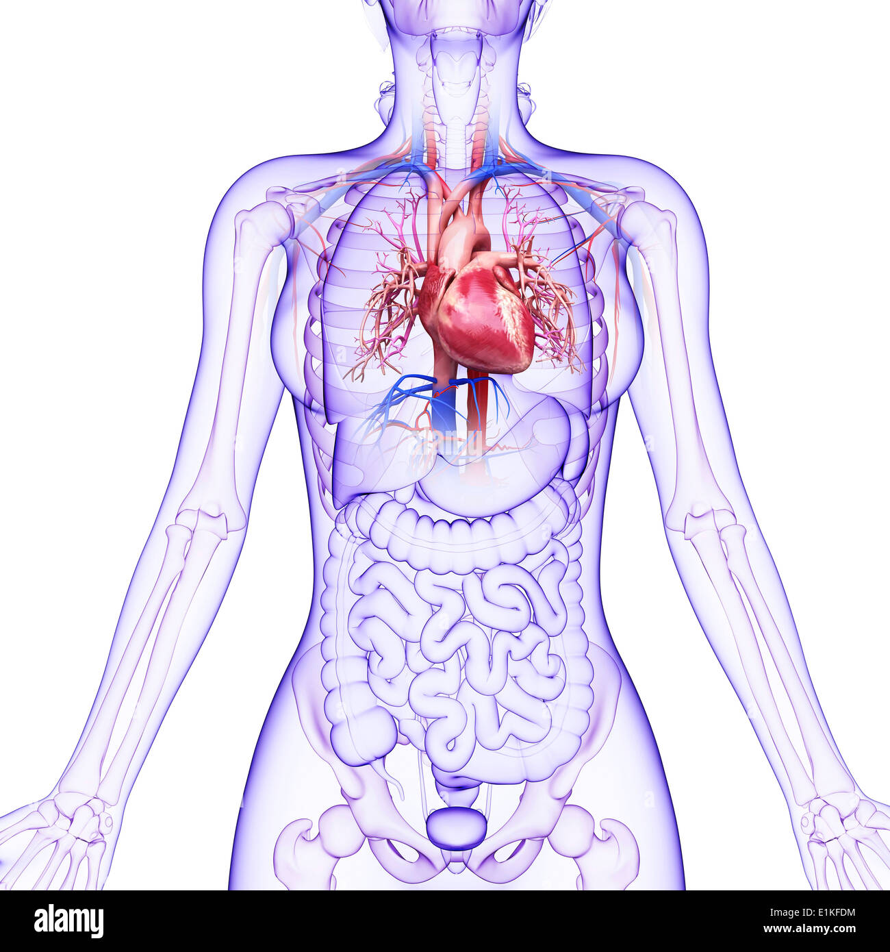 Fein Organe In Herz Kreislauf System Galerie - Menschliche Anatomie ...
