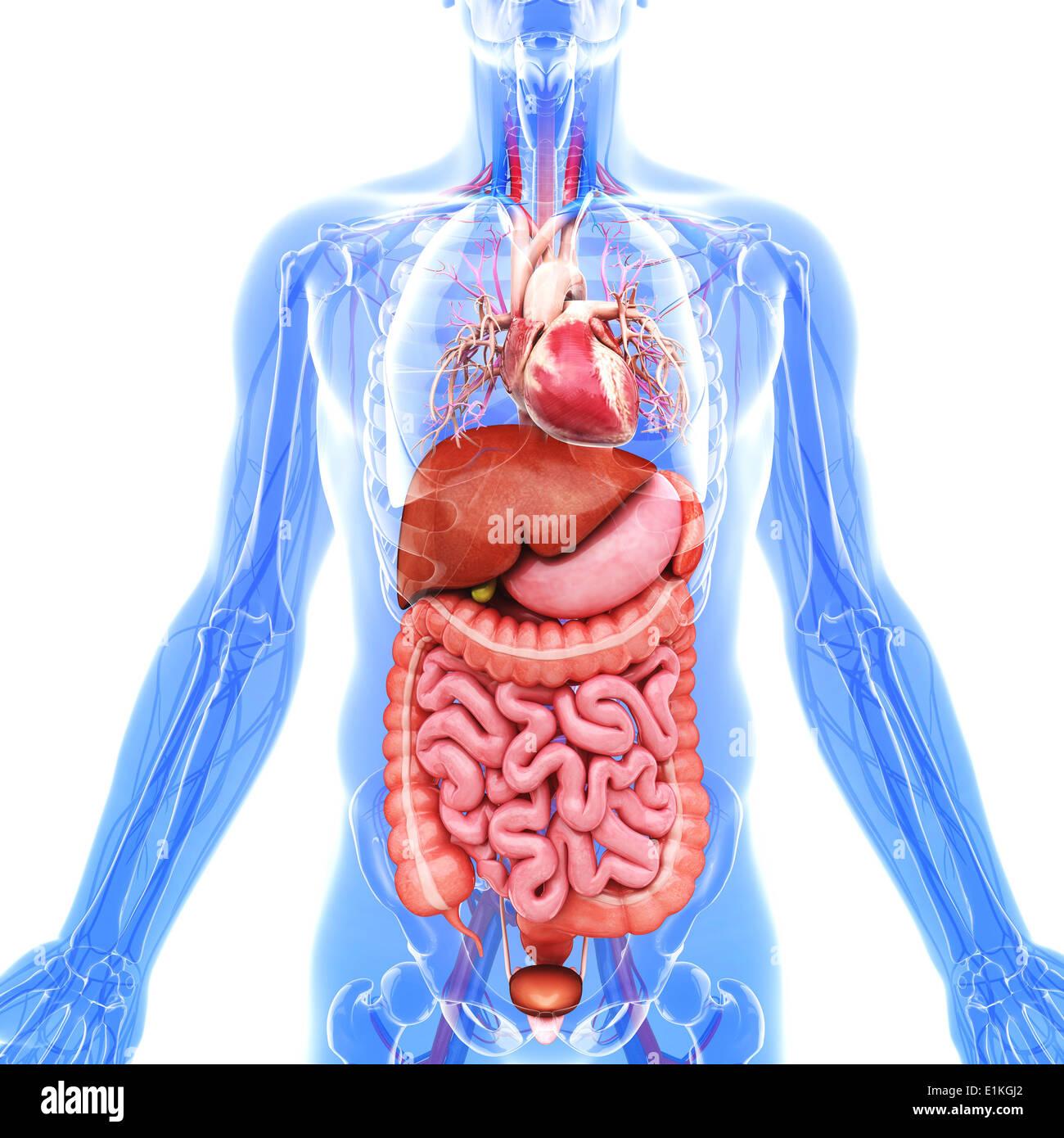 Niedlich Bild Menschliche Organe Fotos - Menschliche Anatomie Bilder ...