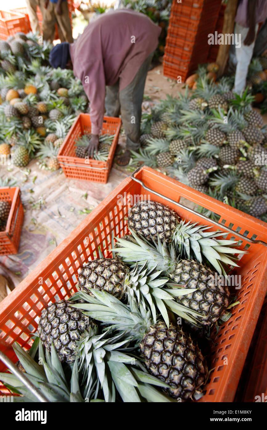 Ananas-Produktion Stockbild