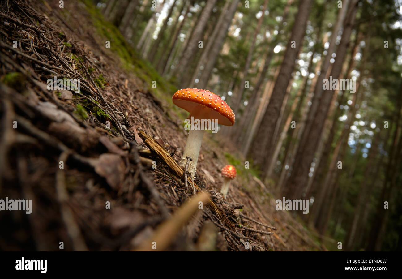 ein großer und ein kleiner Fliegenpilz [Amanita Muscaria] in einem Wald von Nadelbäumen Stockfoto