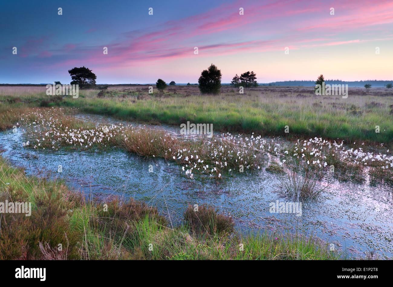 Sonnenaufgang über dem Sumpf mit Wollgras, Friesland, Niederlande Stockbild