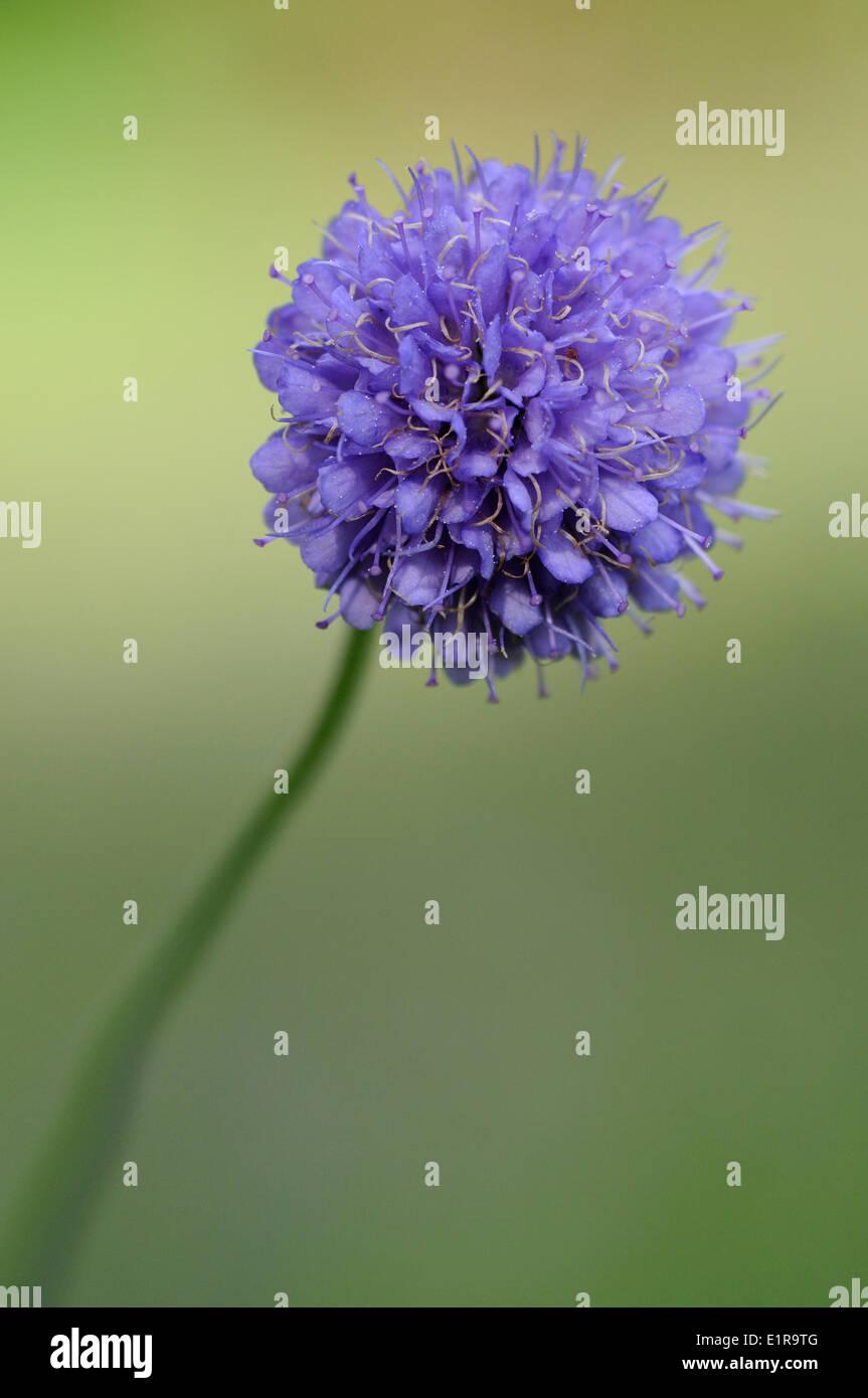 Detailansicht auf dem Blütenstand der Teufels-Bit Witwenblume Stockbild