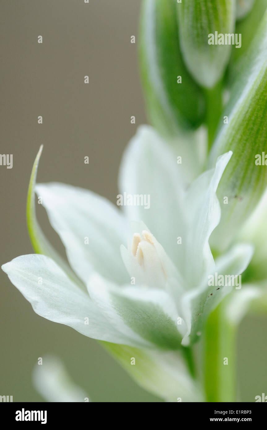 Detailansicht auf der Blume des herabhängenden Star-of-Bethlehem Stockbild
