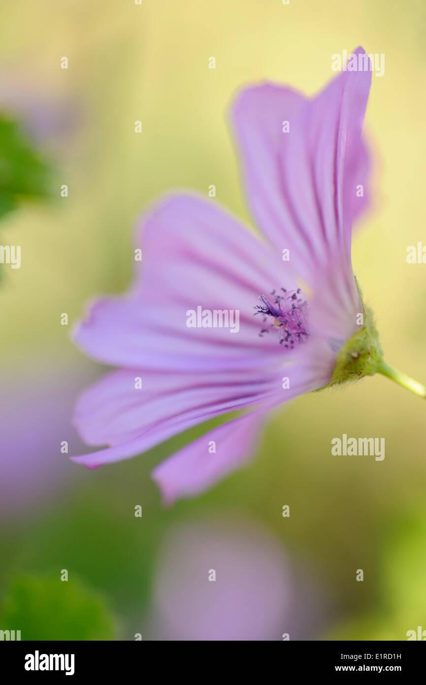 Detailansicht auf der Blume des Comon Mallow Stockbild