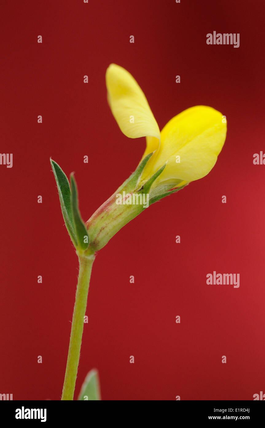 Die Blume der Drachenzähne-Detailansicht Stockbild