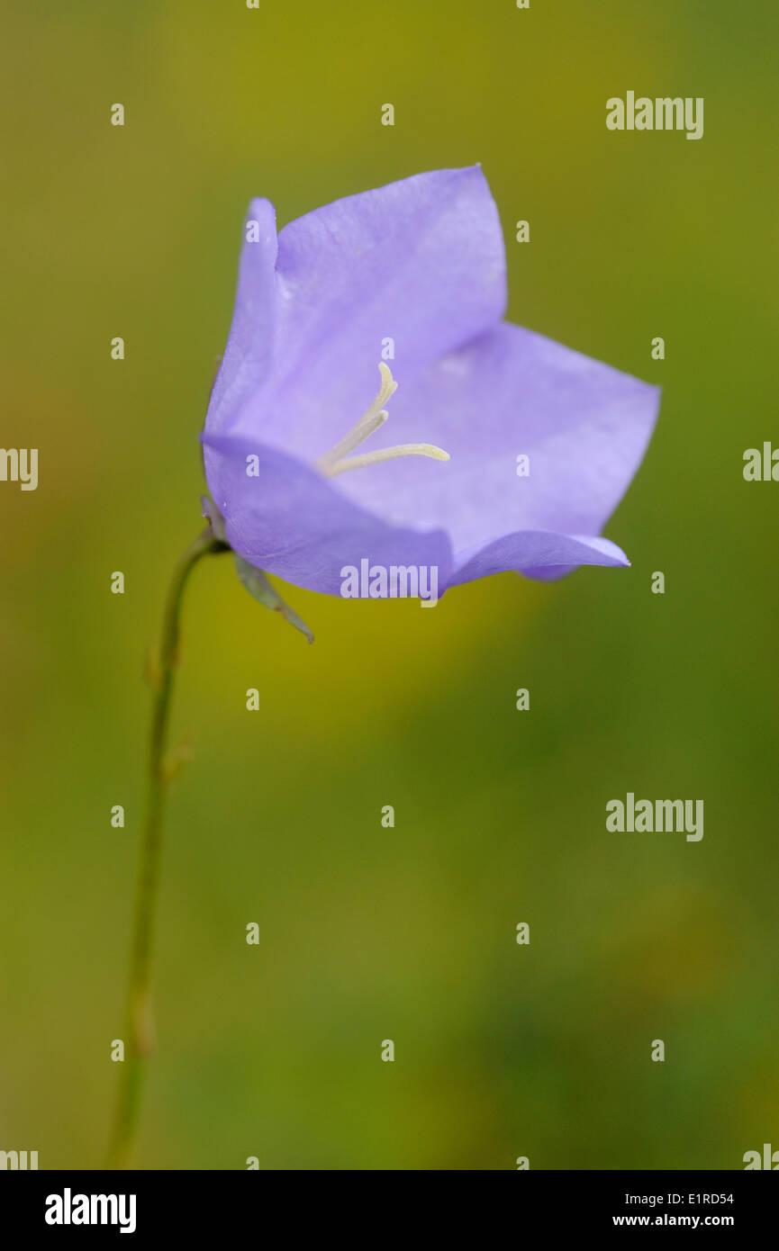 Detailansicht auf die Blume die Pfirsich-blättrige Glockenblume Stockbild