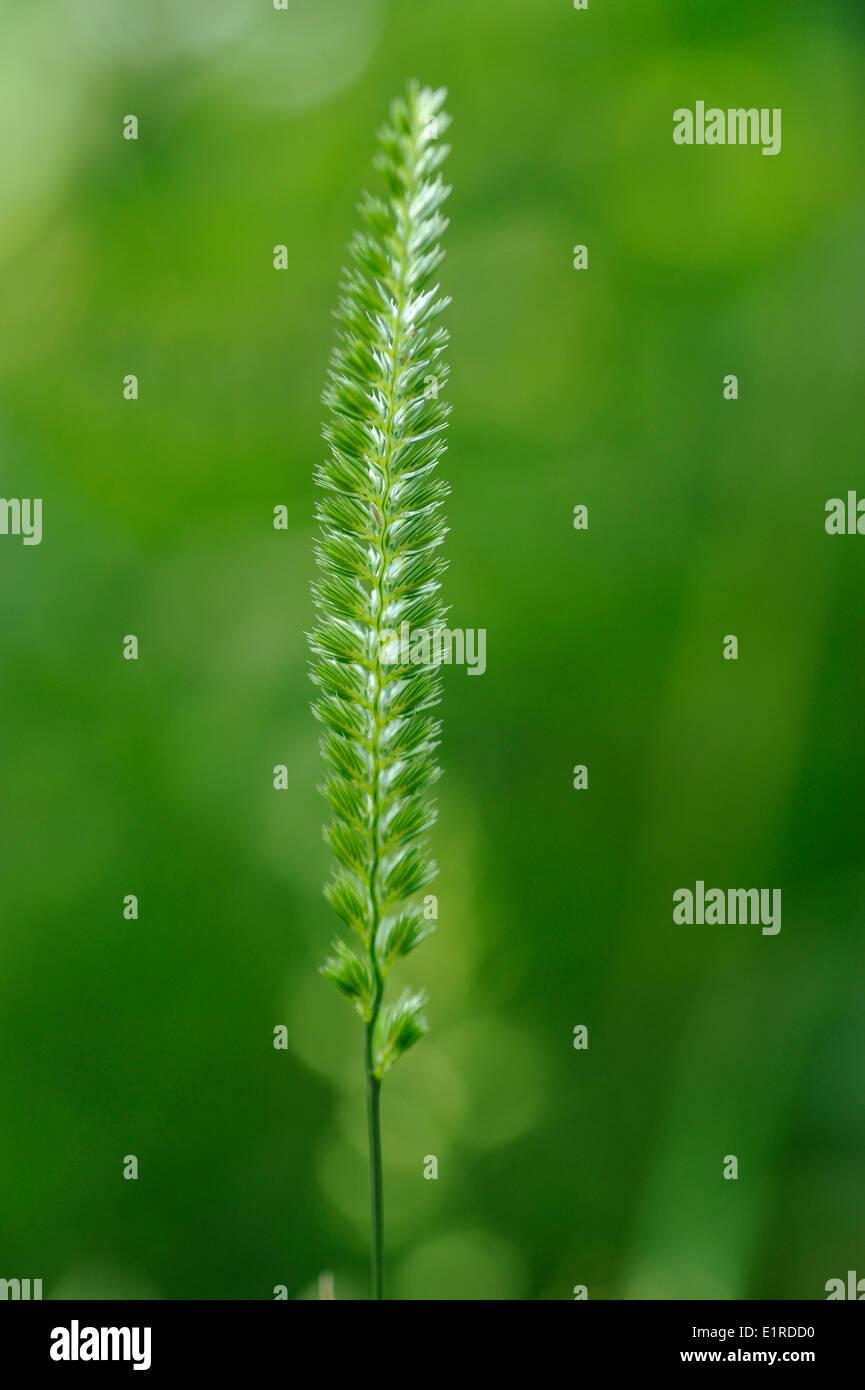 Detailansicht auf dem Blütenstand der Crested Hundeschwanz Stockbild