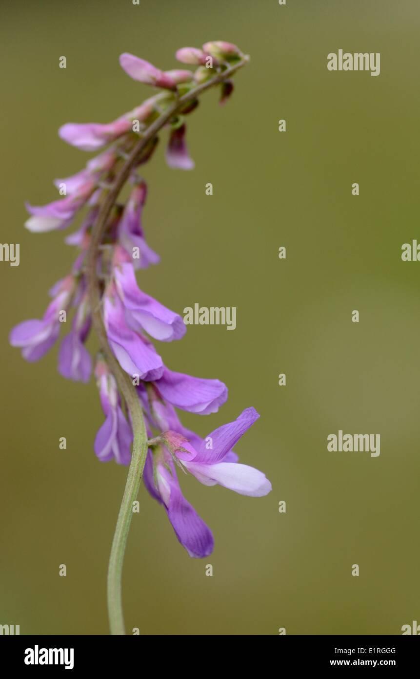 Detailansicht auf dem Blütenstand der Fine-leaved Wicke Stockbild