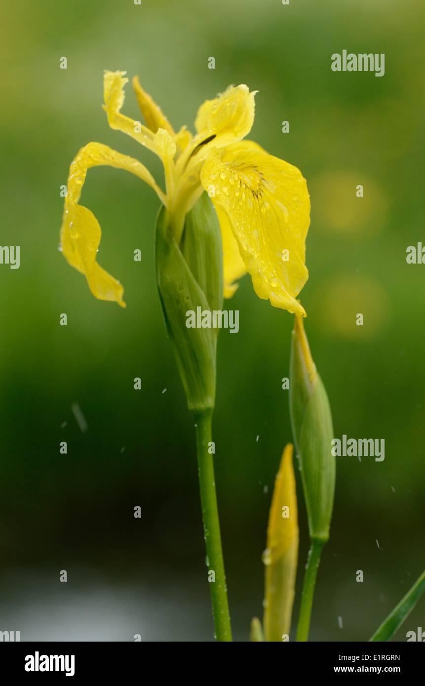 Detailansicht auf der Blüte der gelben Flagge Stockfoto
