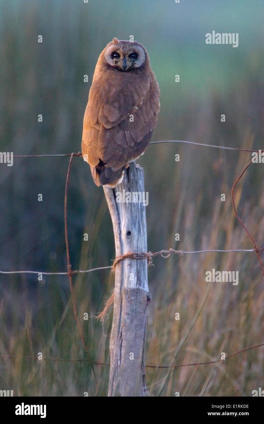 Marsh Eule (Asio Capensis Tingitanus) Stockbild
