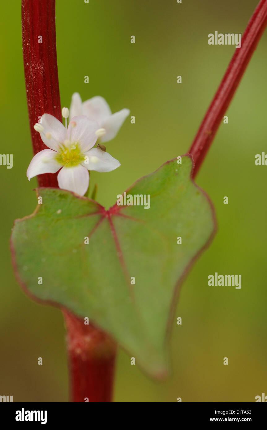 Detailansicht der Blatt und Blume der Buchweizen Stockbild