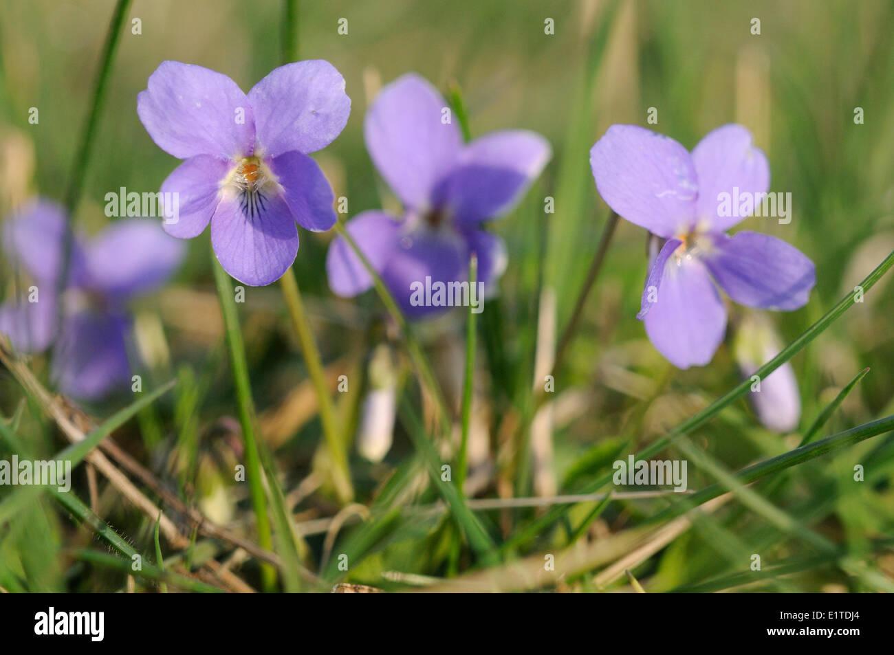 Detailansicht der Blüte der behaarte violett Stockbild