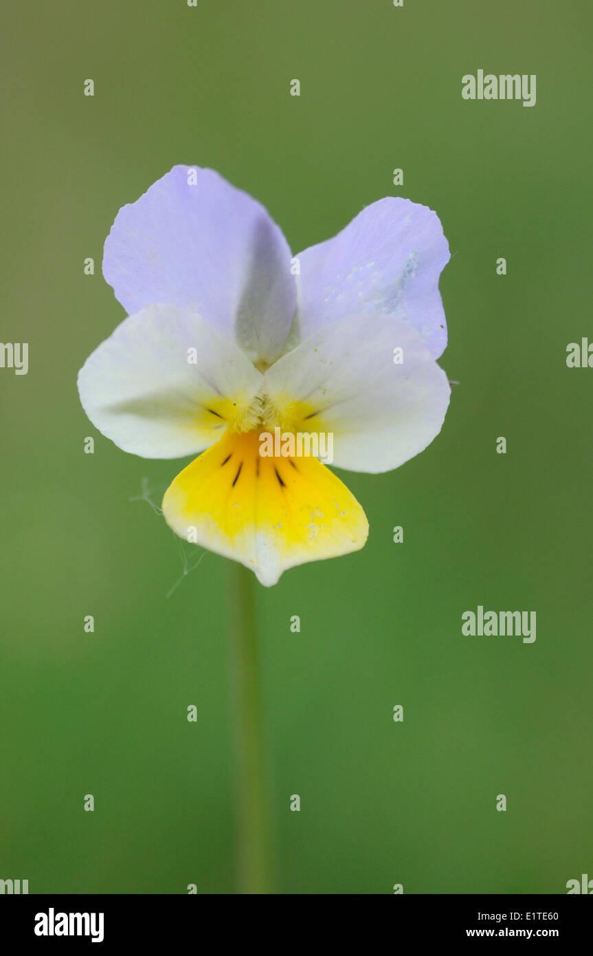 Detailansicht der Blume des Feldes Stiefmütterchen Stockfoto
