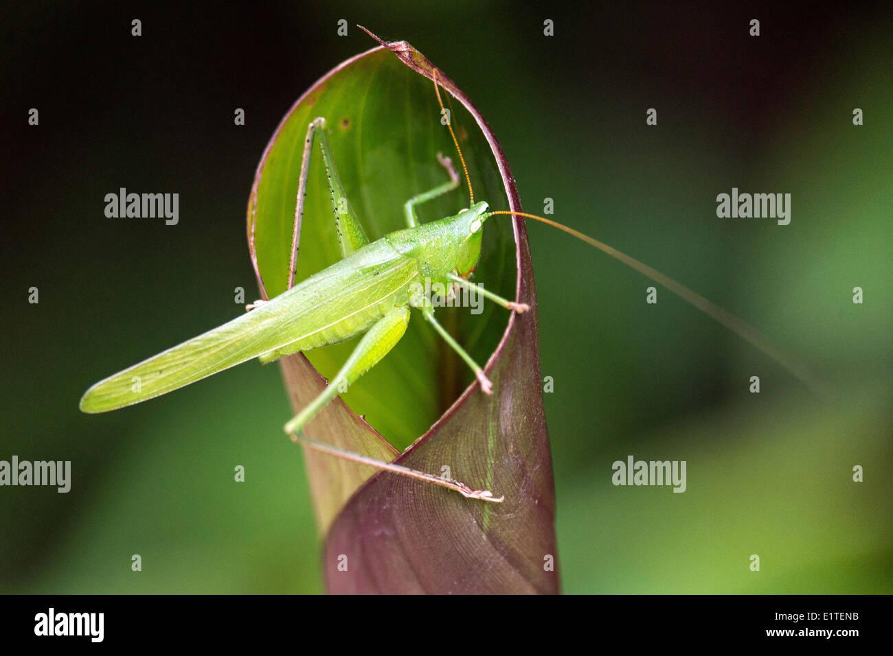 Long ? gehörnte Grasshopper Insekt wieder beleuchtet Costa Rica Stockbild