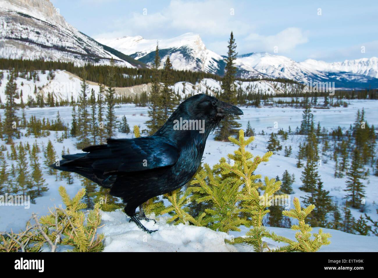 Gemeinsamen Rabe (Corvus Corax) South Saskatchewan River im westlichen Winter, Banff Nationalpark, Alberta, Kanada Stockbild