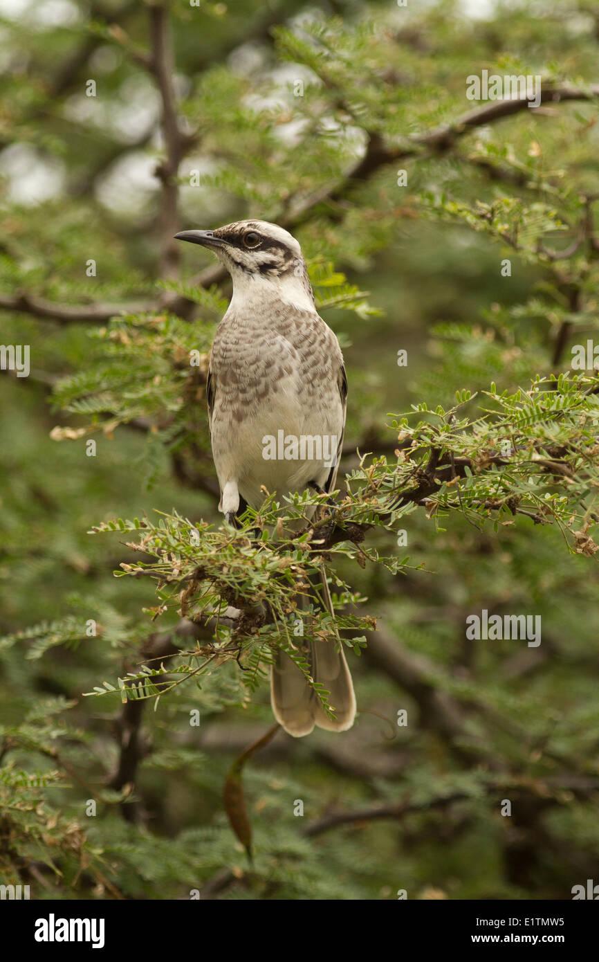 Mockingbird, Mimus SP., Isla Del Plato, Ecuador Stockfoto