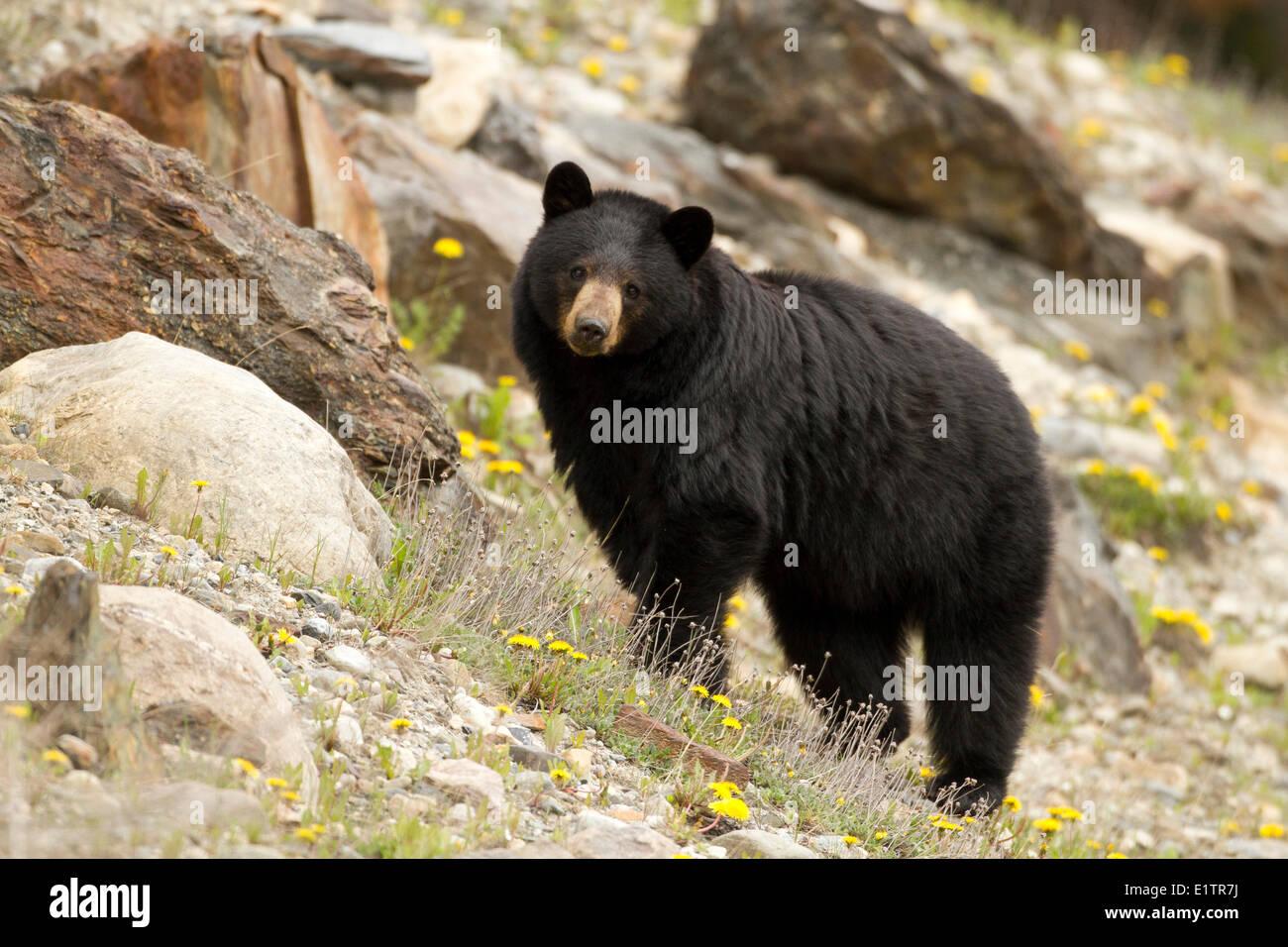 Schwarzer Bär, Ursus Americanus, Rockie Mountains, Alberta, Kanada Stockbild
