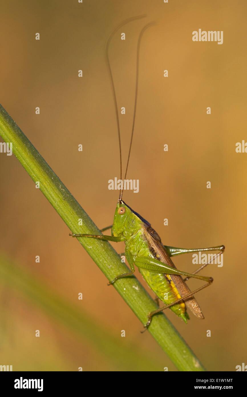 Grashuepfer (Familie Tettigoniidae) - Saanich BC, Kanada Stockbild