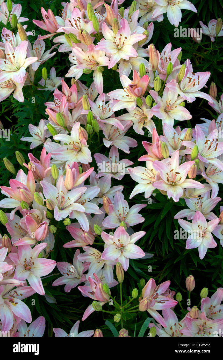Full-Frame von blühenden heimischen asiatischen Lilien im Garten. Nordontario. Kanada. Stockbild