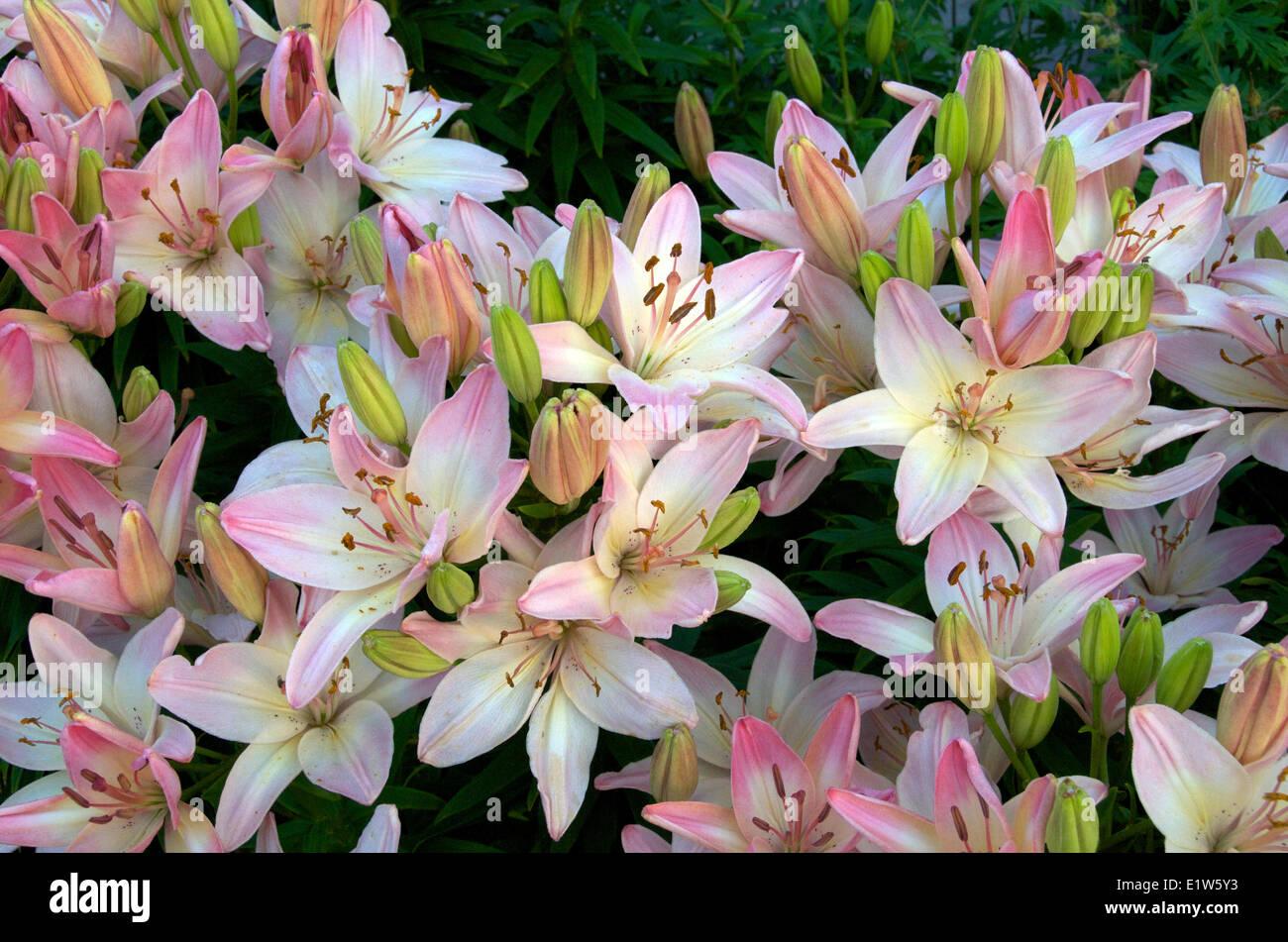 Blühende inländische asiatische Lilien im Garten.  Nordontario; Kanada. Stockbild