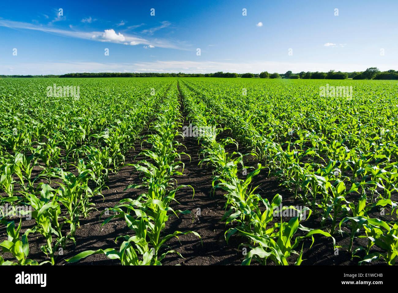 ein Bereich der Futtermittel/Getreide Mais erstreckt sich bis zum Horizont, in der Nähe von Dugald, Manitoba, Stockbild