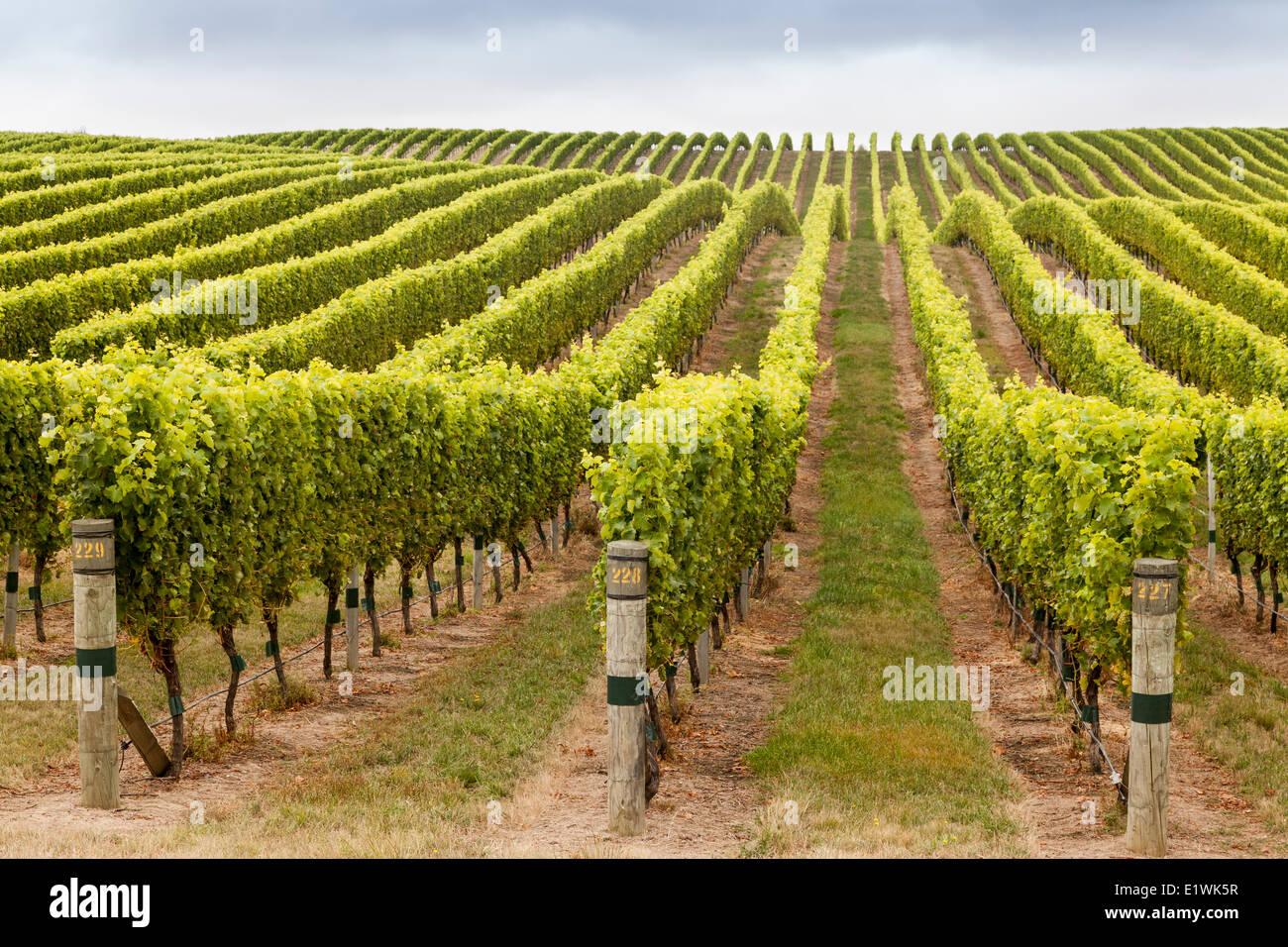Weinberge in Marlborough Region auf der Nordinsel Neuseelands Stockfoto