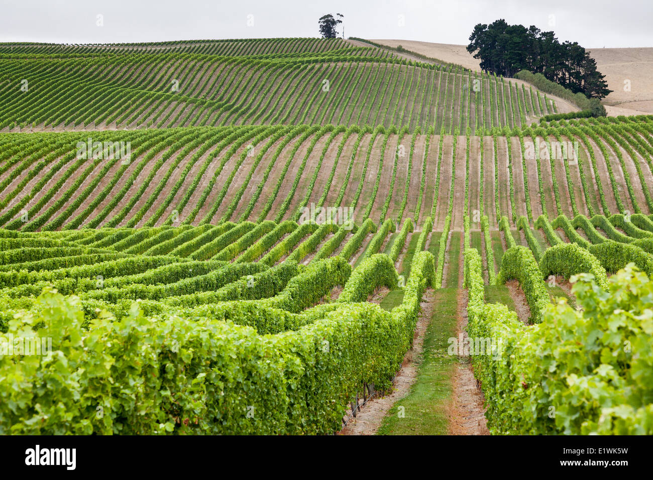 Weinberge in Marlborough Region auf der Nordinsel Neuseelands Stockfoto