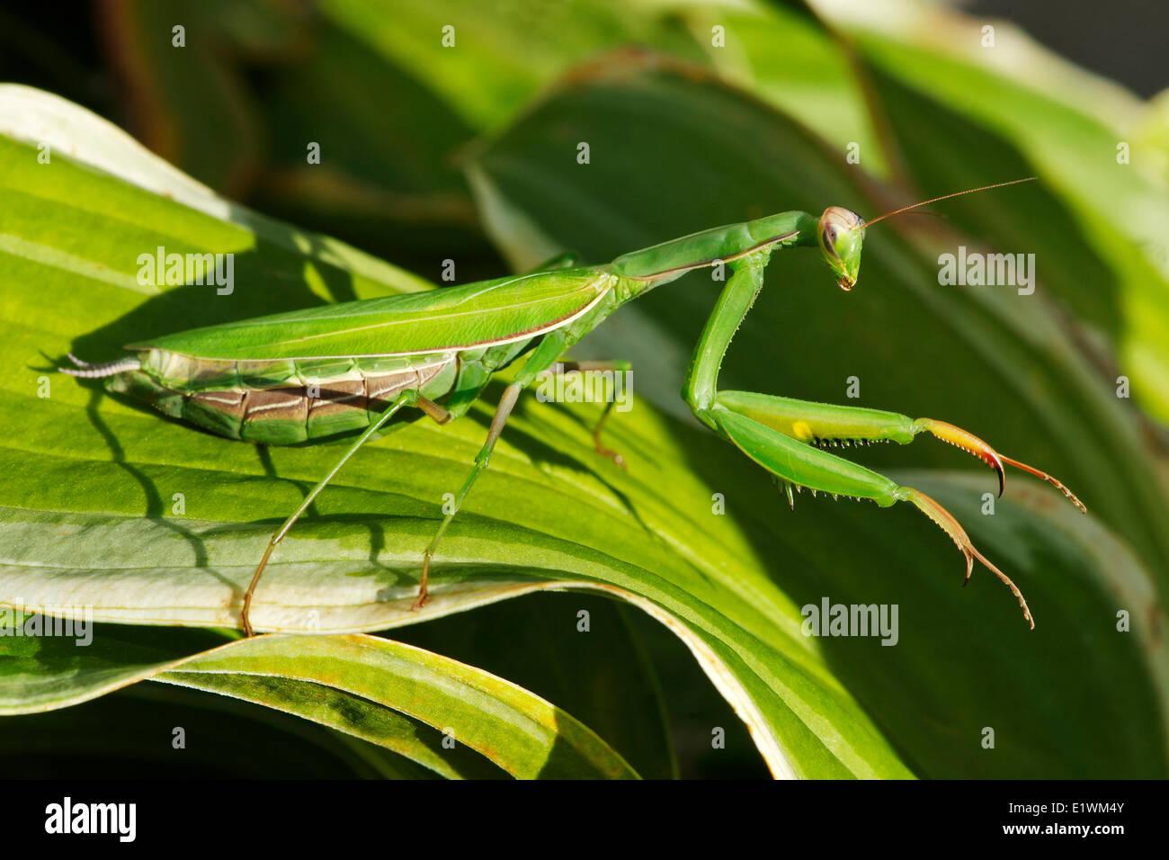 Kurzärmelig (Mantis Religiosa) zu beten-Mantodea Ordnung der Insekten, Gatineau, Quebec, Kanada. Stockbild