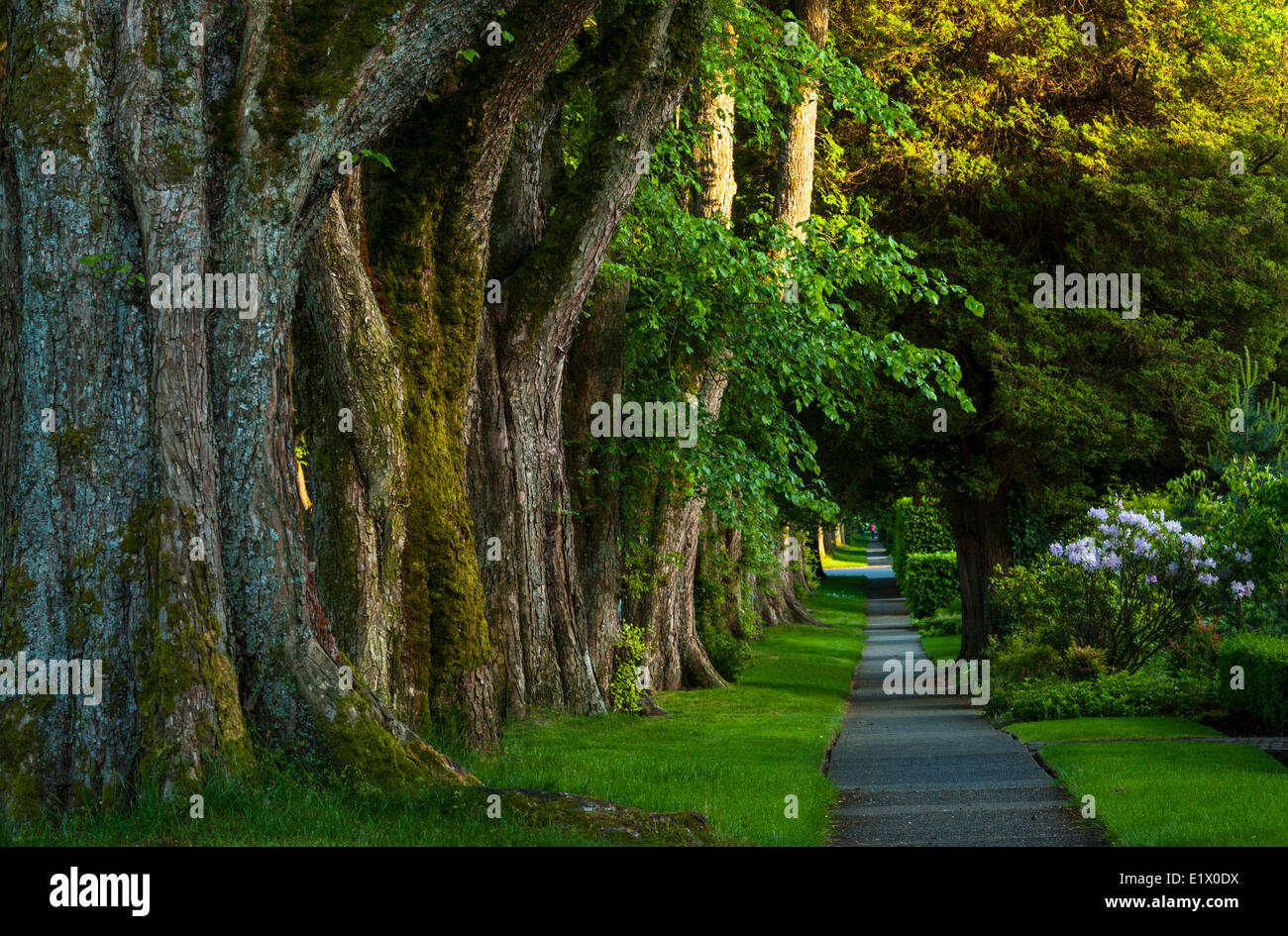 Baum gefütterte Bürgersteig, Kerrisdale, Vancouver, Britisch-Kolumbien, Kanada Stockbild