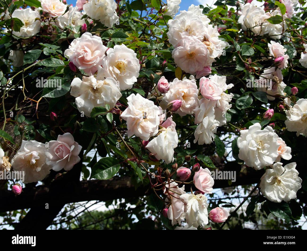 Holz Kletter Bogen : Pinky weisse rambling rose Überklettern und kaskadierung von einem