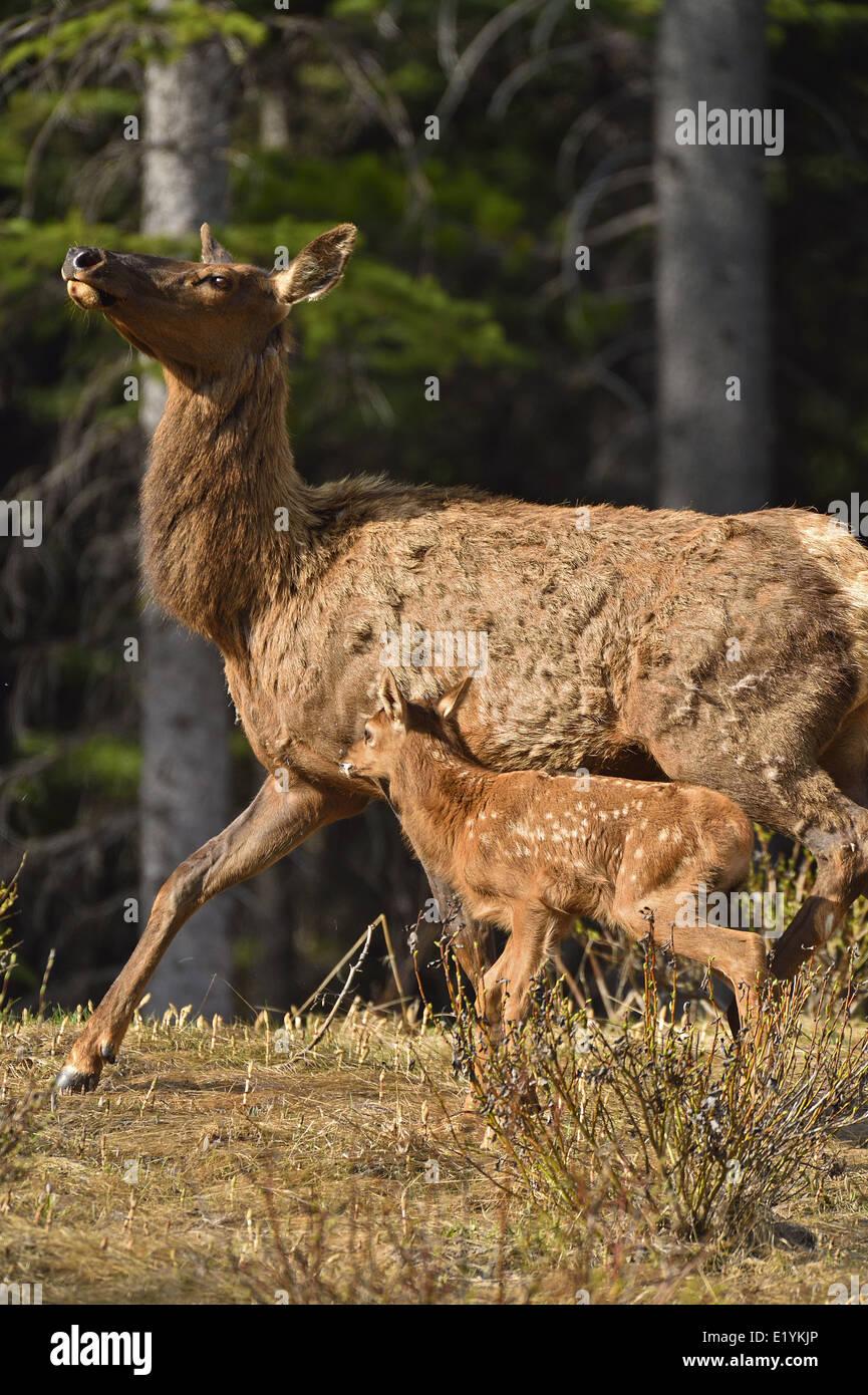 Eine Mutter Elch mit einem neuen Baby schnell in Richtung der Sicherheit des dichten Waldes bewegt Stockbild