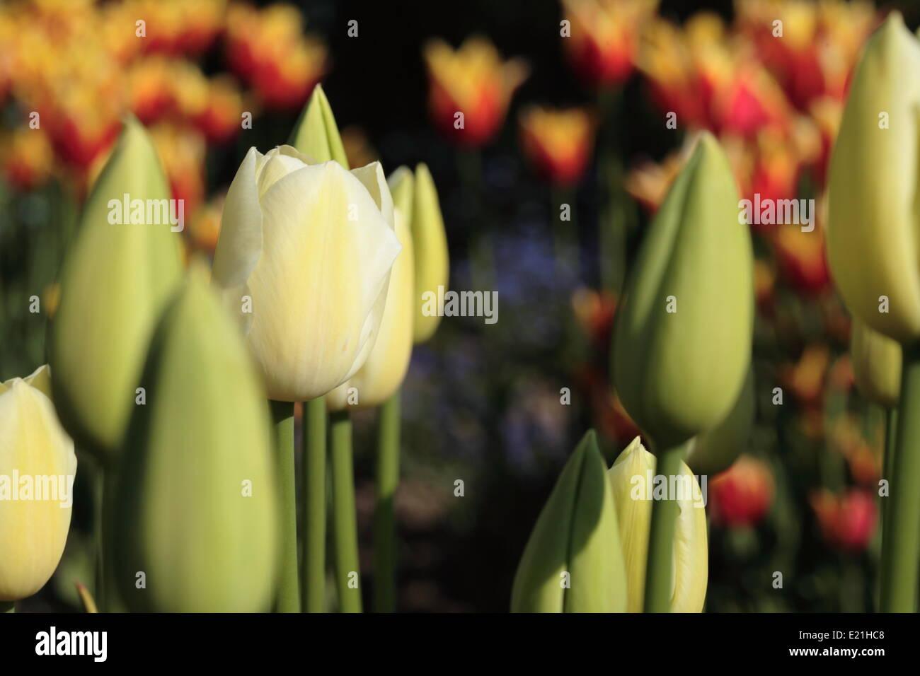 "Triumph-Tulpe ""Glückselig Generation"" Stockbild"