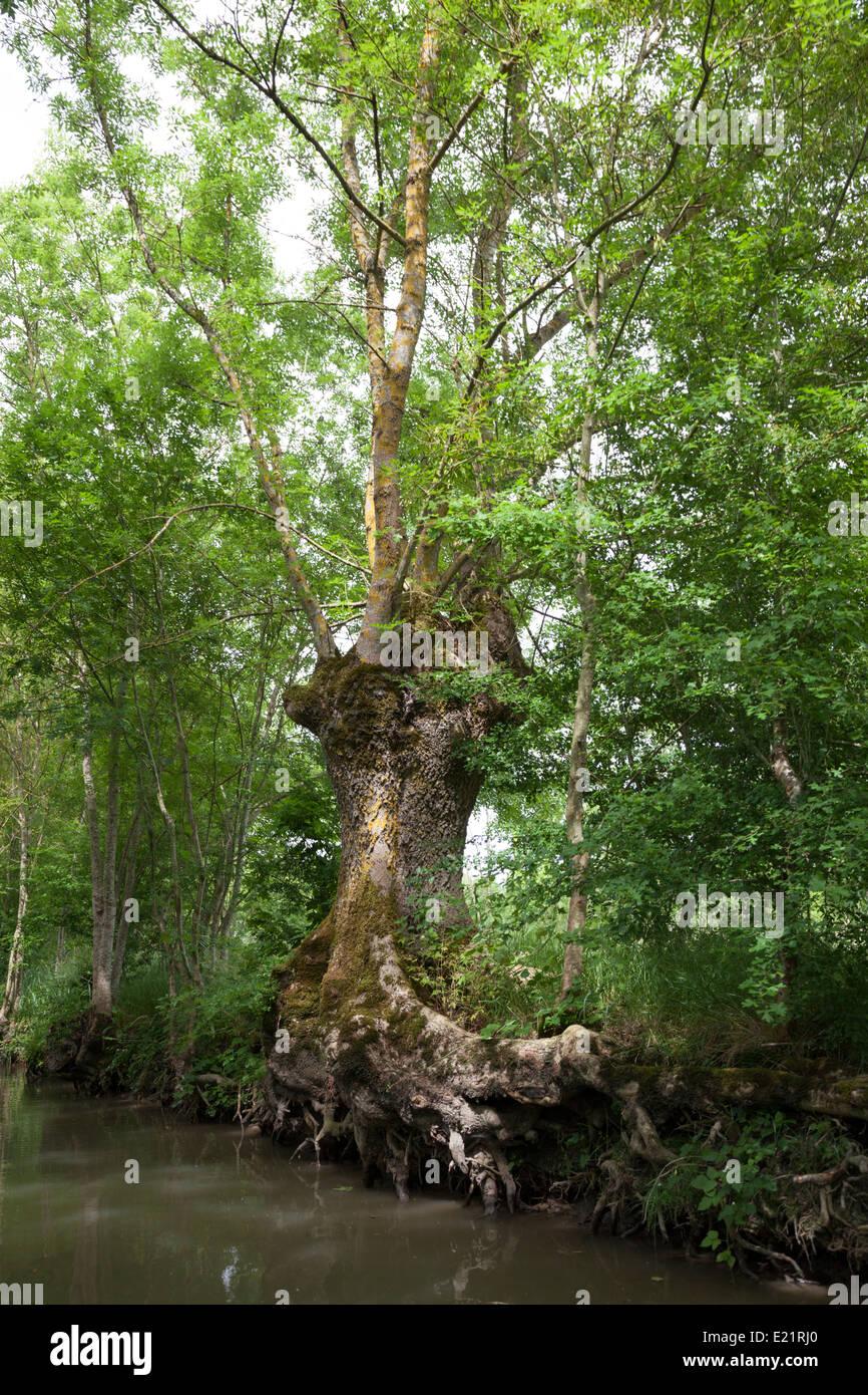 In das Marais Poitevin (Frankreich), einer verfing Esche mit einem bemerkenswerten Wurzelsystem. Frêne Têtard Stockbild