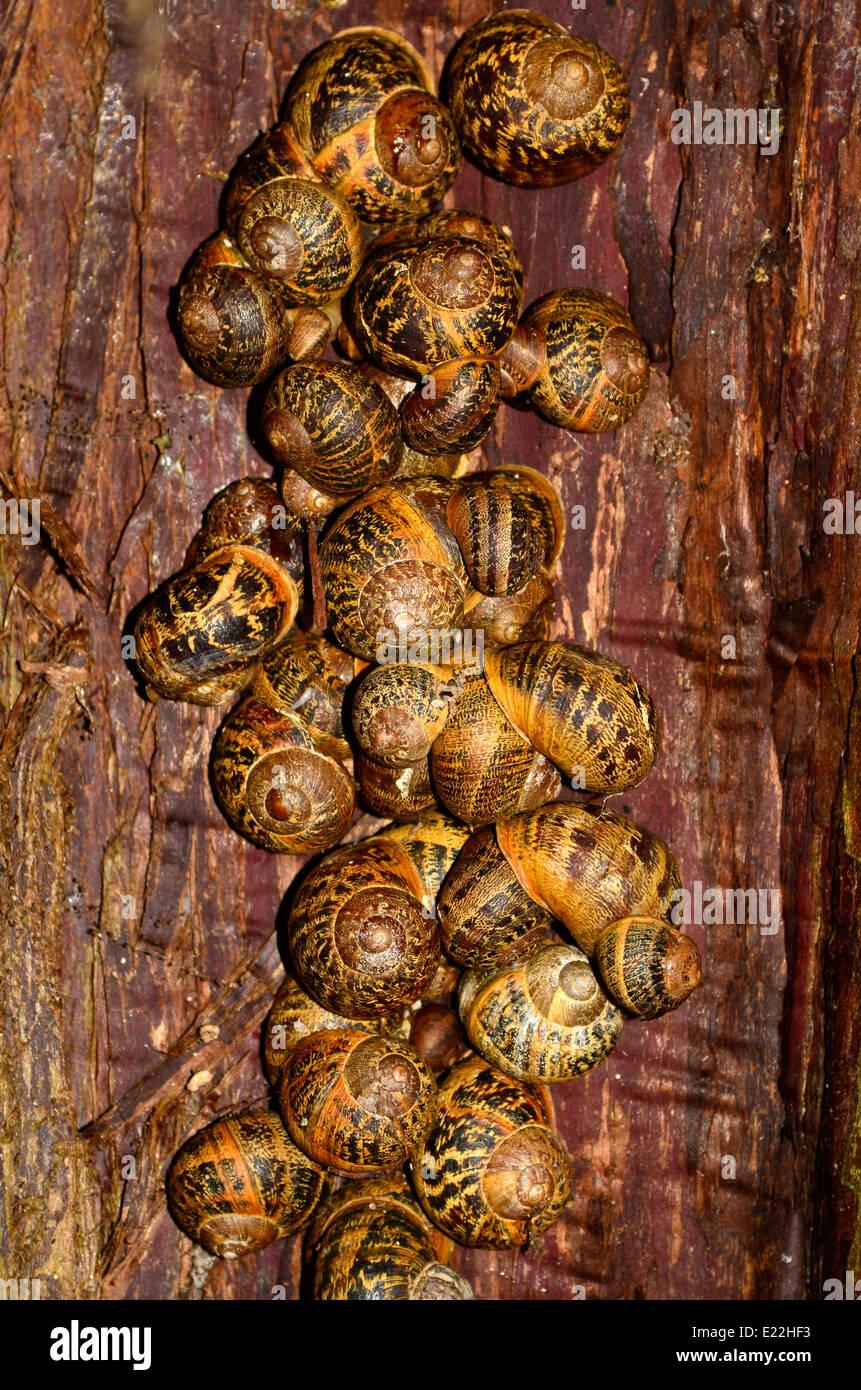 Wirrwarr von hibernating Schnecken in einem Baum Spalt Stockbild