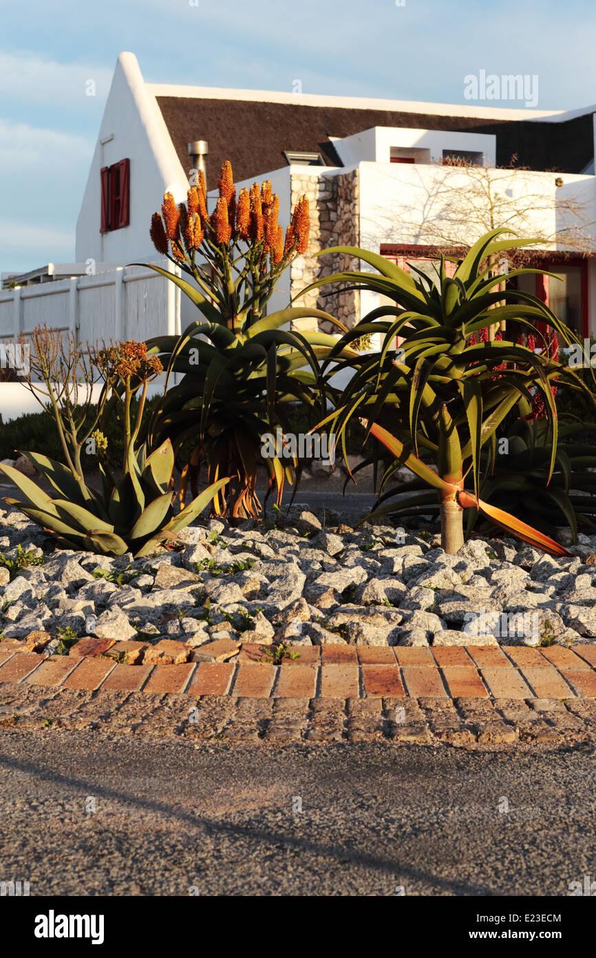 Kreisverkehr in Paternoster gepflanzt mit indigenen Aloe-Arten, mit Haus im Hintergrund Stockbild