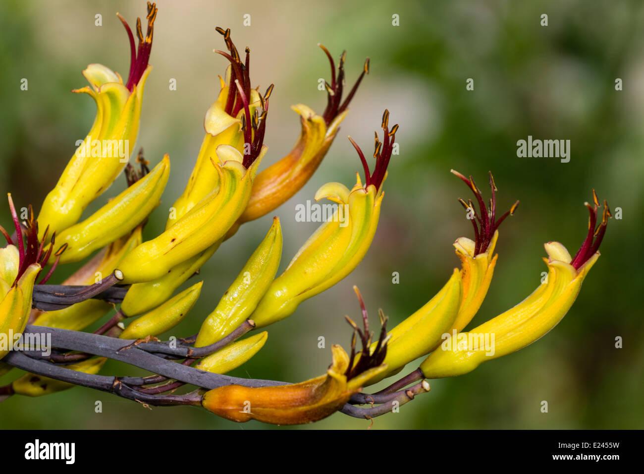 """Blumen von der Neuseeland-Flachs, Phormium Cookianum """"Tricolor"""" Stockfoto"""