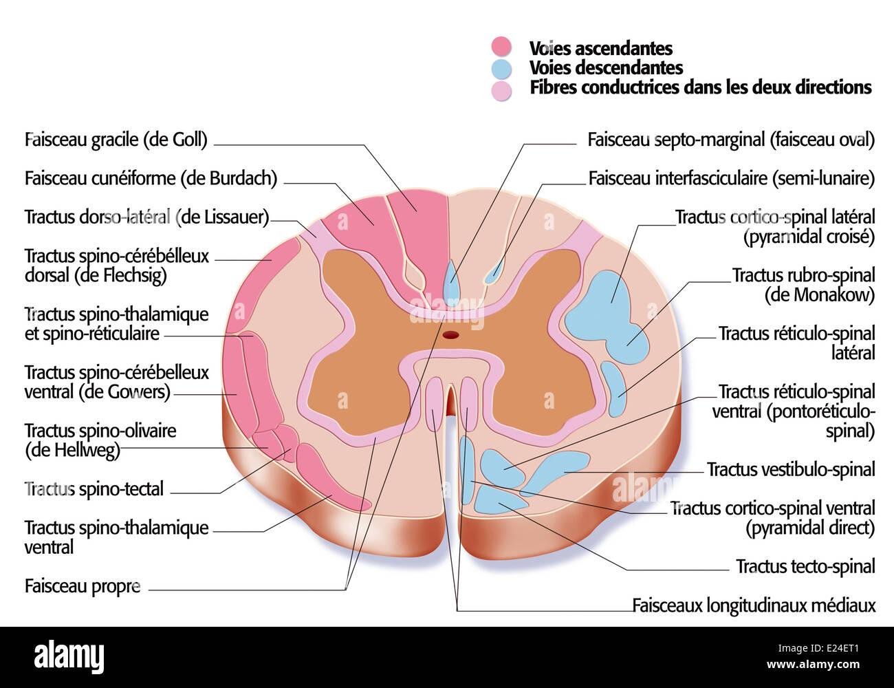 Berühmt Makroskopische Anatomie Des Rückenmarks Galerie ...